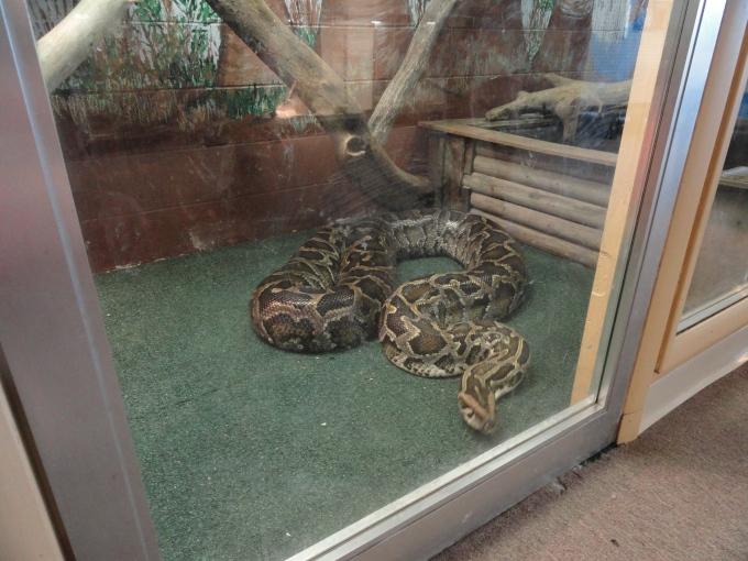 Big Python Snake!